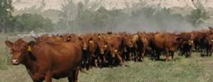 Cómo producir carne en regiones semiáridas