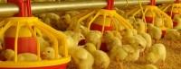 Metas avícolas para el año 2014