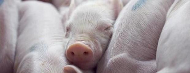 Reclaman baja del IVA para cerdos y aves