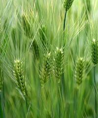 Trigo: Conceptos para la aplicación de fungicidas