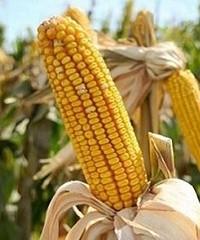 Fertilización en maíces para silo