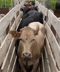 Enfermedades reproductivas en bovinos