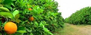 Analizan alternativas para potenciar la producción citrícola