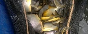 Misiones: Se vende pacú entero a pie de estanque desde $ 80