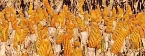 Se declararon ventas de maíz por el 36% del saldo exportable