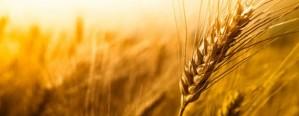 Hay récord de ventas adelantadas de trigo