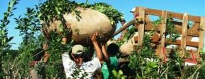 La cosecha de yerba se desplomó y especulan subas de precios