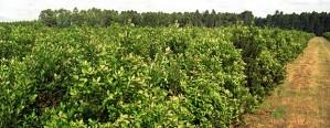Se podrá cosechar yerba en septiembre
