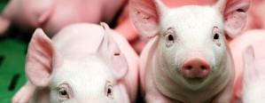 La genética ha avanzado mucho en la producción de cerdo