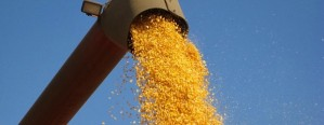 La producción de maíz creció un 49% interanual