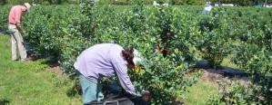 Sector del arándano busca fortalecer el consumo interno