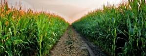 Prevén una expansión en el área de maíz