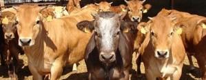 Comenzarán a operar contratos a futuro de carne