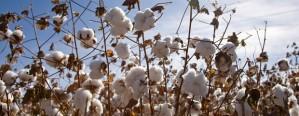 La última campaña de algodón fue la menor en 10 años