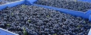 Arándanos: prevén una cosecha de 8.000 toneladas