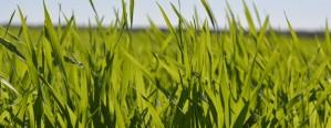 Hay 230 mil hectáreas de trigo  afectadas por inundaciones