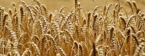 Estiman una merma para la cosecha de trigo del Mercosur