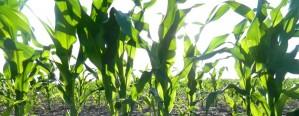 Ya está en marcha la siembra de maíz en Entre Ríos