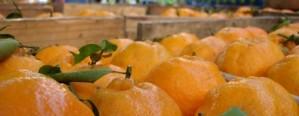 Mesa Citrícola define campaña contra la mosca de los frutos