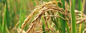 Estiman una disminución en el área con arroz en Entre Ríos
