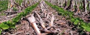Siembra de maíz demorada: muchos lotes pasan a soja