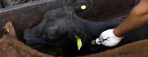 En Paraguay quieren demostrar ausencia del virus de aftosa