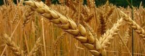 En diciembre se hará la primera venta de trigo a México