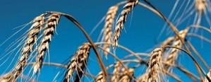 Trigo: Proyectan una caída del 6% en la cosecha nacional