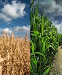 Nitrógeno: en trigo y maíz dividir la dosis da resultados