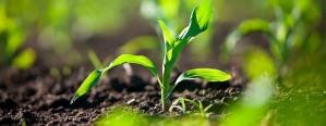 Esperan casi 9 millones de hectáreas para el maíz