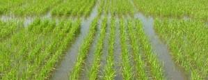 Las lluvias provocan una caída del área arrocera