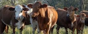 La faena de bovinos alcanzó el nivel más elevado del año