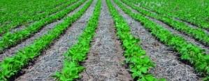 Avance del 90 % en la siembra de soja de primera