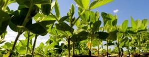 Soja: El productor necesita 1.540 kg/Ha para cubrir costos