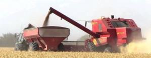 La producción entrerriana de trigo caería un 15 %