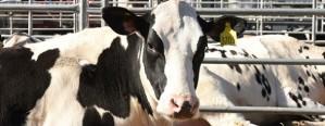 Prevén recuperación de producción lechera para el 2018