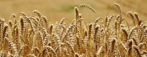 Récord de exportaciones de trigo