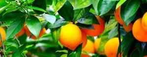 Una aplicación para medir los costos de la citricultura