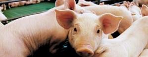 Argentina duplicó su producción de cerdo