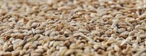 Apareció el mercado de calidad de trigo en plena cosecha